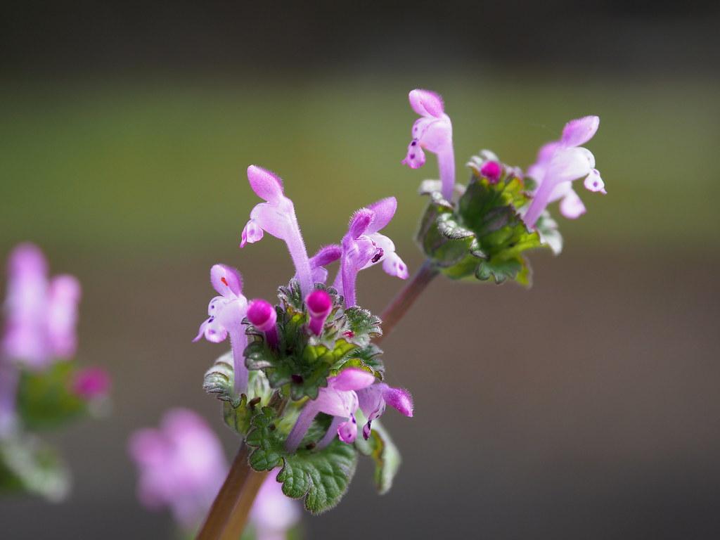 Henbit dead-nettle flowers (Lamium amplexicaule, ホトケノザ)