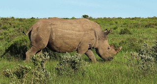 White rhino with horn removed for its protection
