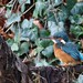 Kingfisher - female, 13012020, 07 f