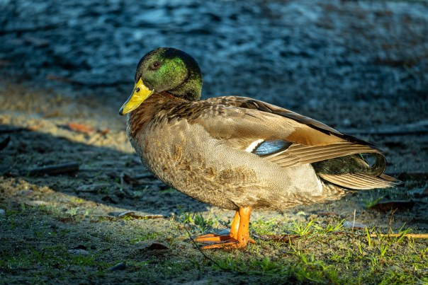 A colorful, curly tailed Mallard