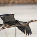Great Blue Heron, Cool's Pond, Vernon, BC.