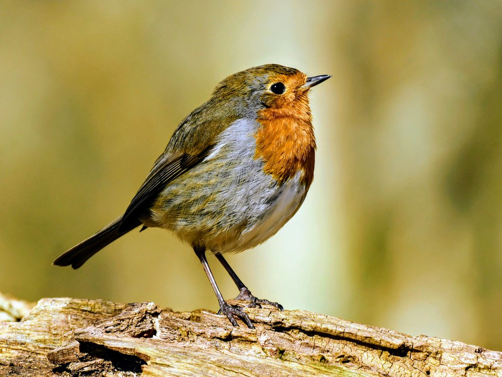 Robin, Denny Wood, New Forest, Hampshire