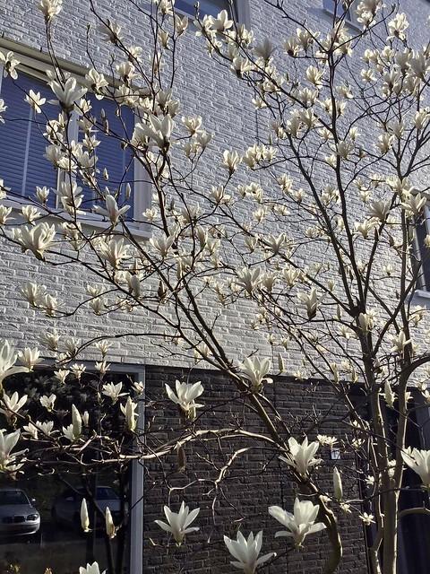 Magnolia struik voortuin