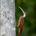 Long-billed Woodcreeper (Nasica longirostris)