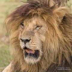 African Lion - Panthera leo