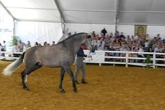 exhibicion de caballo gris con jinete desmontado espectaculo Carmelo Cuevas Parque González Hontoria Feria del Caballo 2014 Jerez de la Frontera Cadiz 17