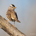 White-crowned Sparrow Looks Back Over Its Shoulder