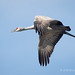With One Wing Down A Sandhill Crane Calls Out While Flying