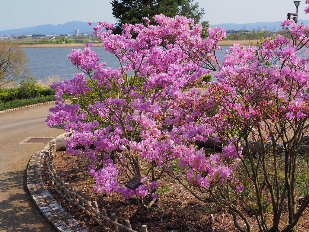 Mitsuba azaleas (Rhododendron dilatatum, ミツバツツジ)