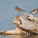 Two Killdeer Make Claim To A Broken And Down Tree Stump