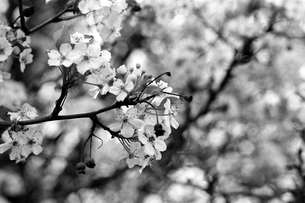 Callery pear flowers