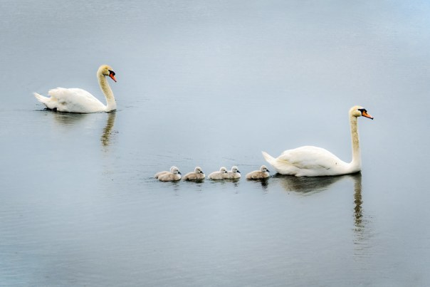 Lake Cherokee Mute Swan Family
