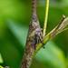 Lantern bug - Zanna madagascariensis