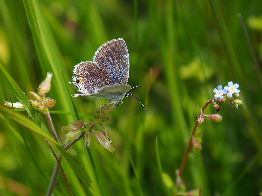 Short-tailed blue butterfly (Everes argiades, tailed cupid, ツバメシジミ)