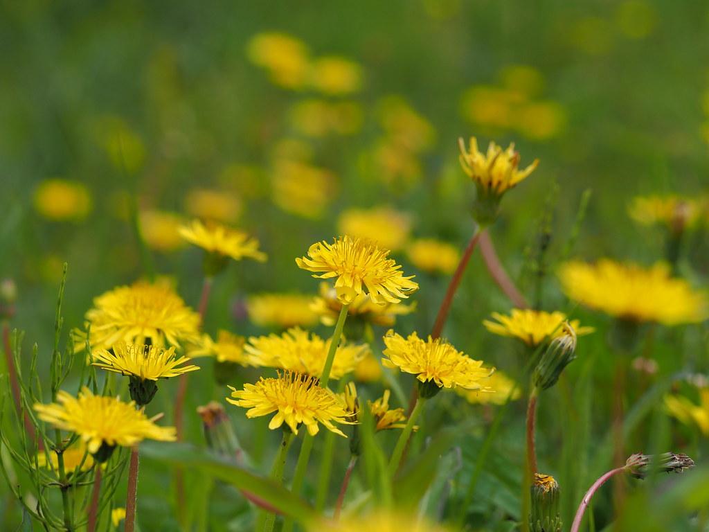 Japanese dandelions (Taraxacum japonicum, カンサイタンポポ)