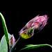 Flor de Salvia