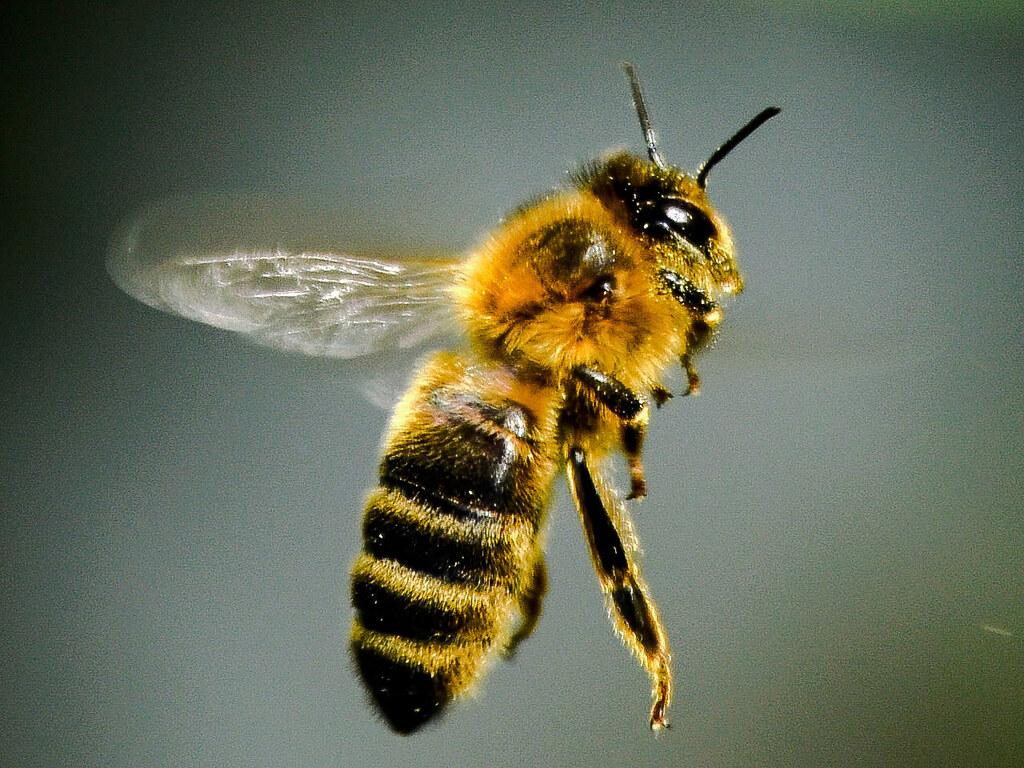 Honeybee, my Garden, Southampton