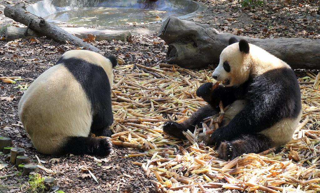 2019 探親訪友旅行 10.18 成都景觀-10 熊貓基地 | WEIYUAN XU | Flickr