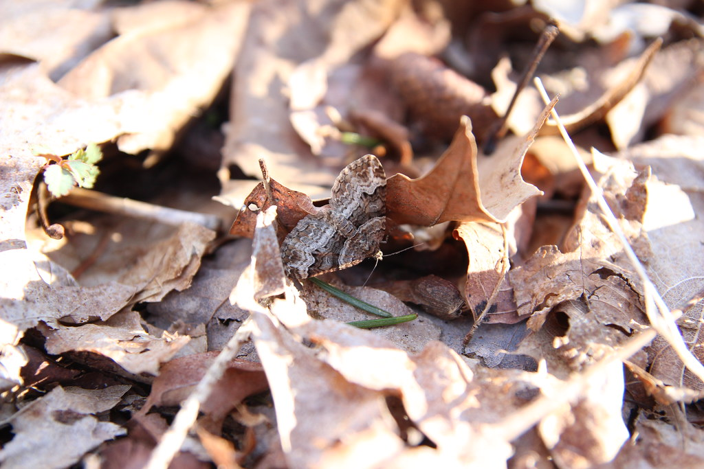 Moth in the leaf litter
