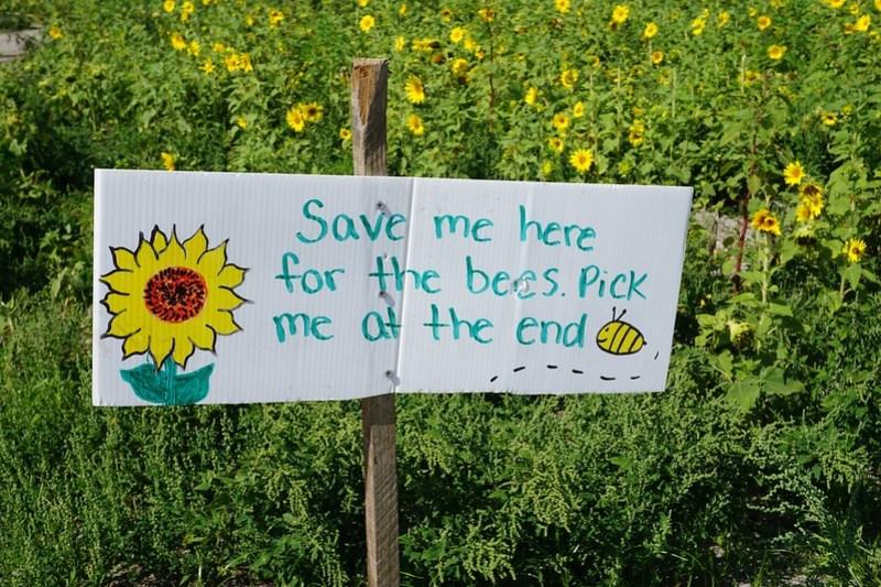 U-Pick Sunflowers, Hunsader Farms, Bradenton, Fla., May 9, 2020