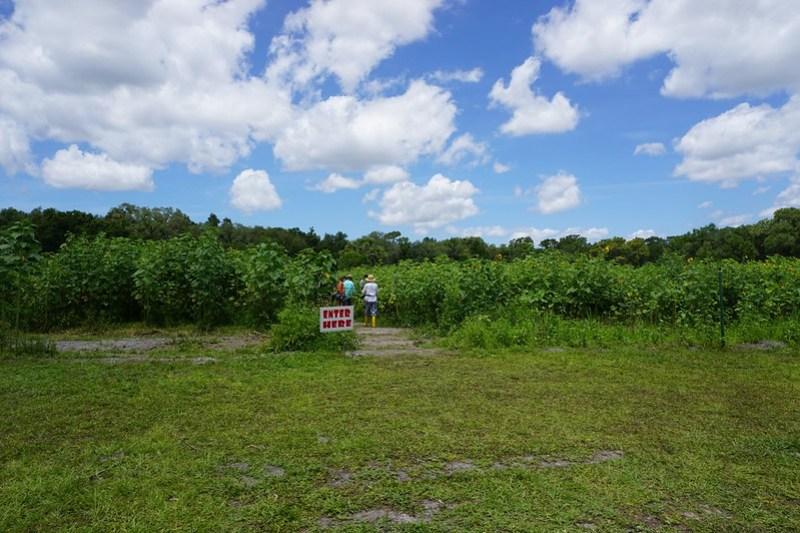 U-Pick Sunflowers, HarvestMoon Fun Farm, May 9, 2020