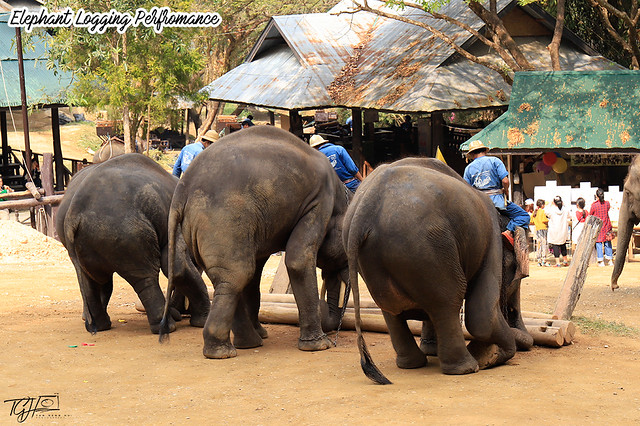 Maesa Elephant Logging Show