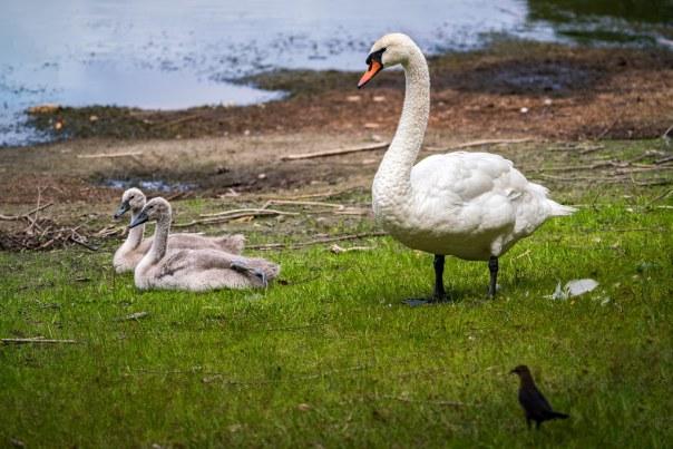 Lake Davis Mute Swans