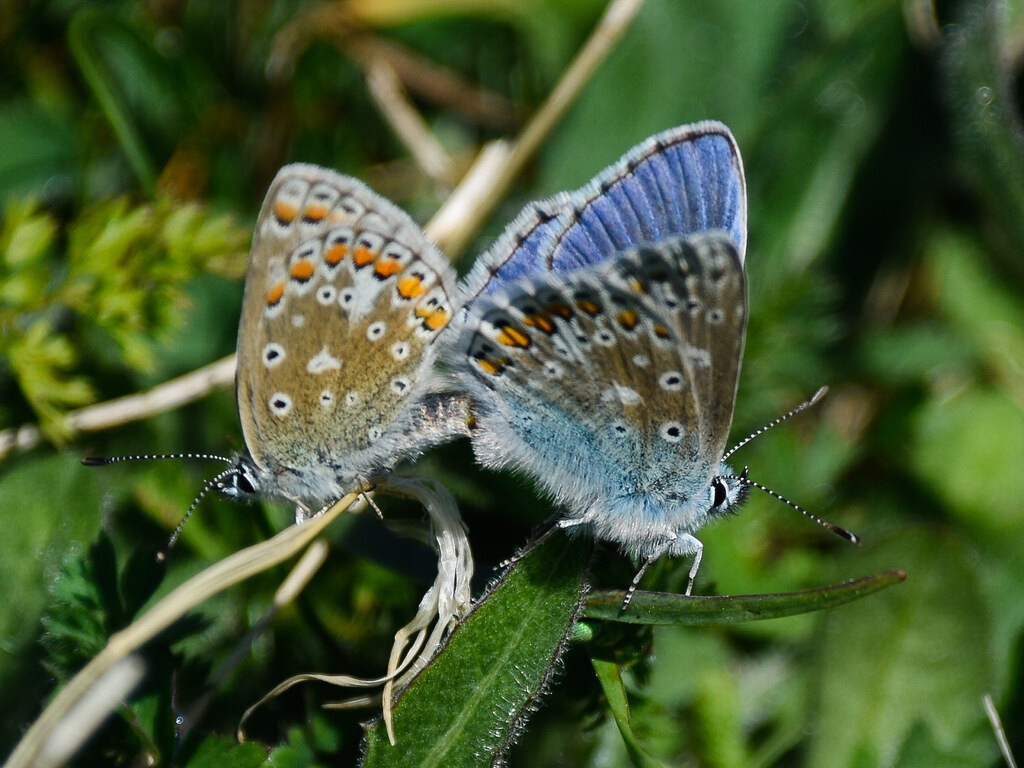 Adonis Blues mating, Old Winchester Hill, Hampshire
