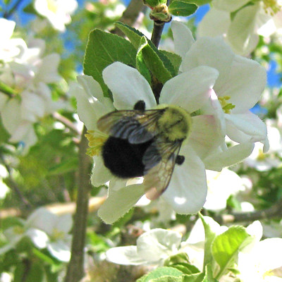 Apple Blossom and Bee 4