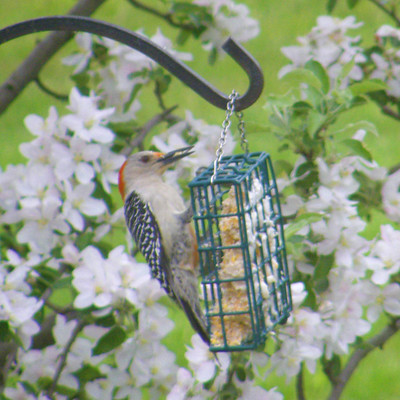 Red Bellied Woodpecker Lady
