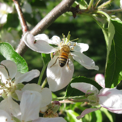 Apple Blossom and Bee 1