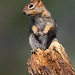 Perched Up On A Deteriorating Tree Trunk A Golden-mantled Ground Squirrel Looks Around
