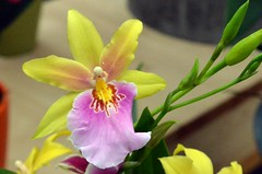 Another orchid: Miltonia Sunset  - explored, best # 40 on May 26 2020