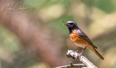 Stunning Redstart Enjoying A Snack