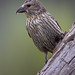 Female Red Crossbill Perched On The Side Of A Weathered Wood
