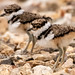 Killdeer chicks