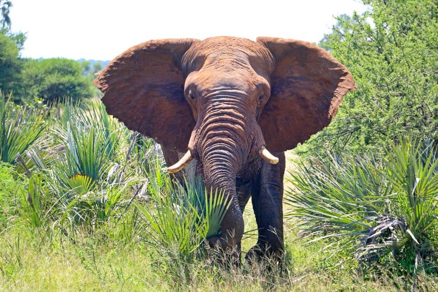 11. African-elephant-Addo-National-Park-South-Africa
