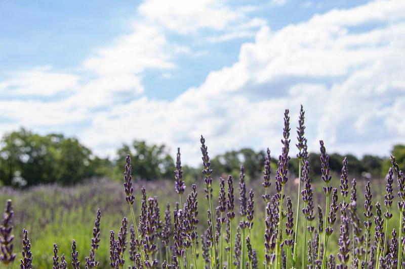 Lookout Lavender Farm15