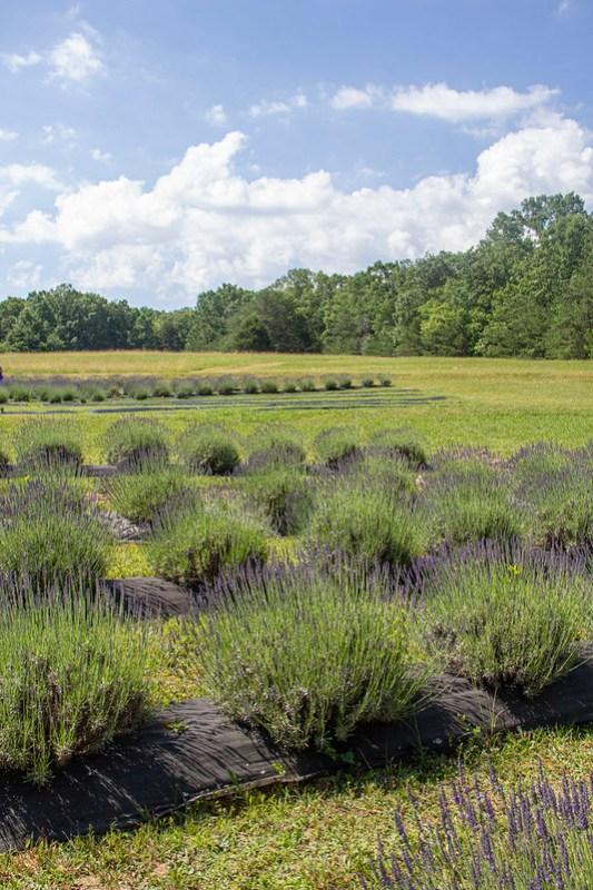 Lookout Lavender Farm9