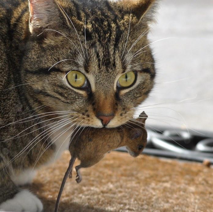 家貓捕食小型哺乳動物