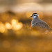 Eurasian Dotterel - Mornellregenpfeifer