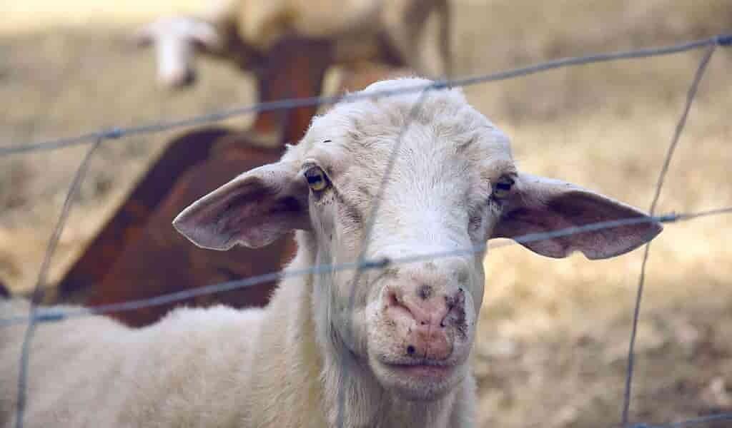 un-médicament-anticancer-venant-des-chèvres-génétiquement-modifiées