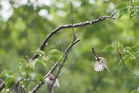 エナガの飛翔