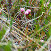 Bog Cranberry flowers