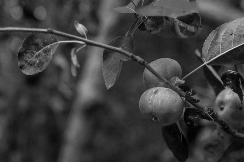 apples, branches, yard, Asheville, NC, Nikon D3300, mamiya sekor 80mm f-2.8, 6.28.20