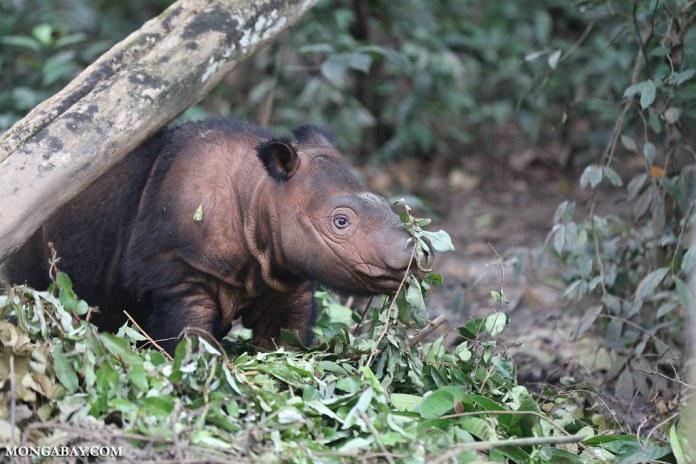 蘇門答臘犀牛是現存最瀕危的犀牛。圖片來源:Rhett A. Butler(Mongabay)