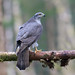 Goshawk female : Scotland