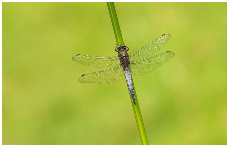 Black Tailed Skimmer - Orthetrum cancellatum (m).