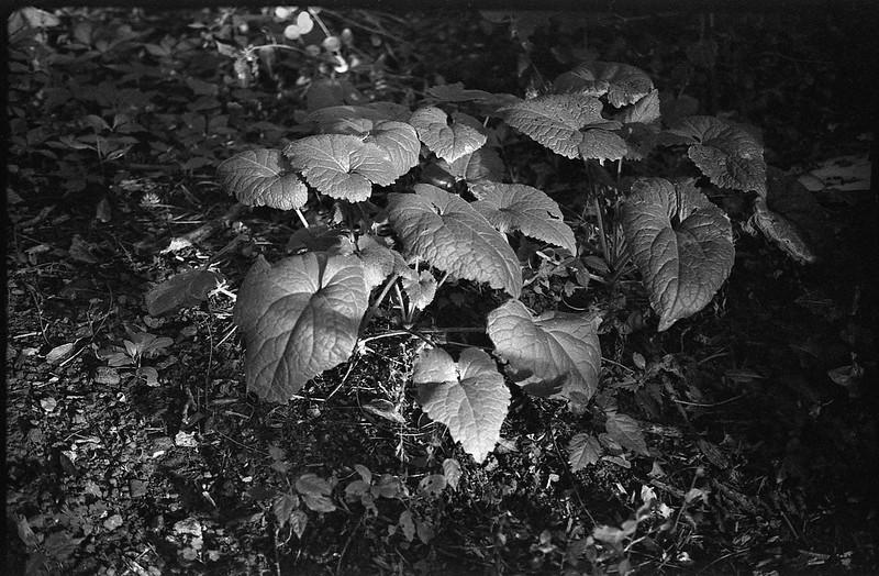lucious leafy plant, late light, Asheville, NC, FED 4, Industar 61, Fomapan 200, Moersch Eco film developer, 7.1.20