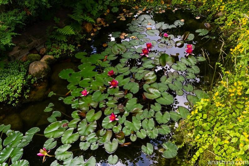 Нимфея, садовый пруд